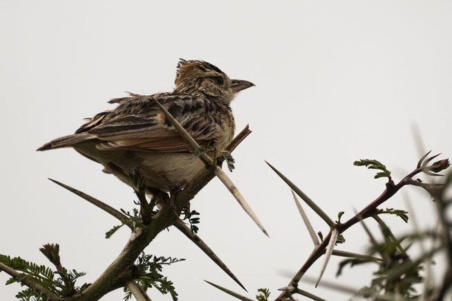 Rufous-naped lark - Rotnackenlerche (Mirafra africana)