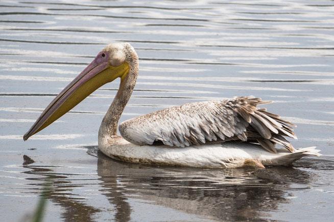 Great White Pelican - Rosapelikan (Pelecanus onocrotalus)