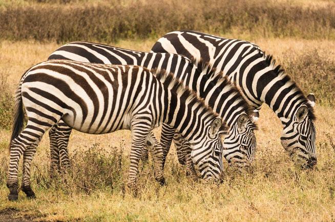 Böhm- oder Grant-Zebra (eine Unterart des Steppenzebras)