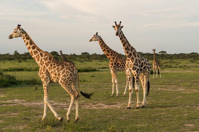 Rothschild-Giraffe - Rothschild's giraffe (Giraffa camelopardalis rothschildi)