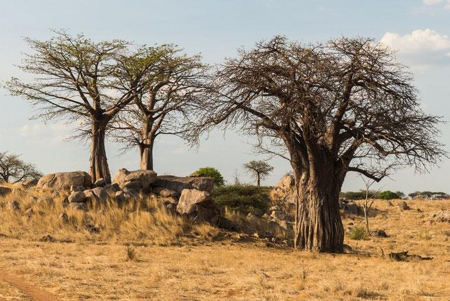 Es gibt keinen Baobab im Park, der nicht von den Elefanten beschädigt wurde. Es gibt hunderte dieser Urzeitriesen.