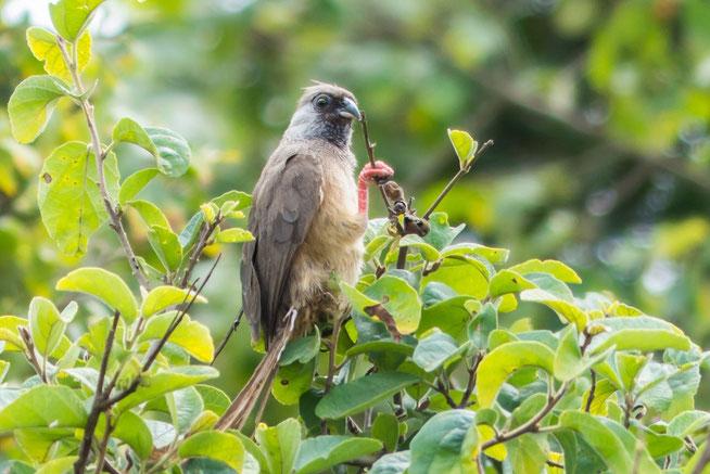 Speckled Mousebird - Braunflügel-Mausvogel (Colius striatus)
