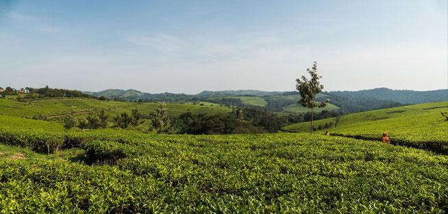Rwetera - Teeplantagen