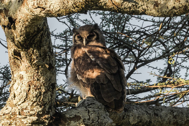 Verreaux's Eagle-Owl or Giant Eagle Owl - Milchuhu (Bubo lacteus)