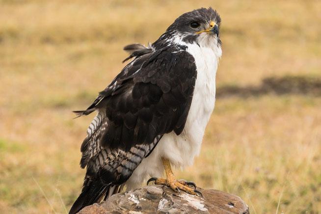 Augur buzzard - Augurbussard (Buteo augur)