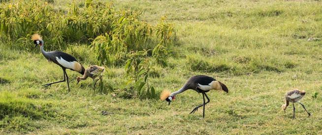 Grey Crowned-Crane - Kronenkranich (Balearica regulorum) mit ihren Kücken