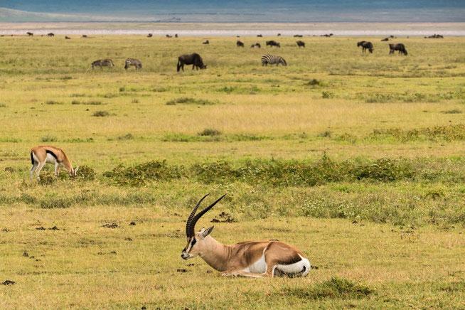 Im Vordergrund: Grant's gazelle - Grant-Gazelle (Nanger granti)