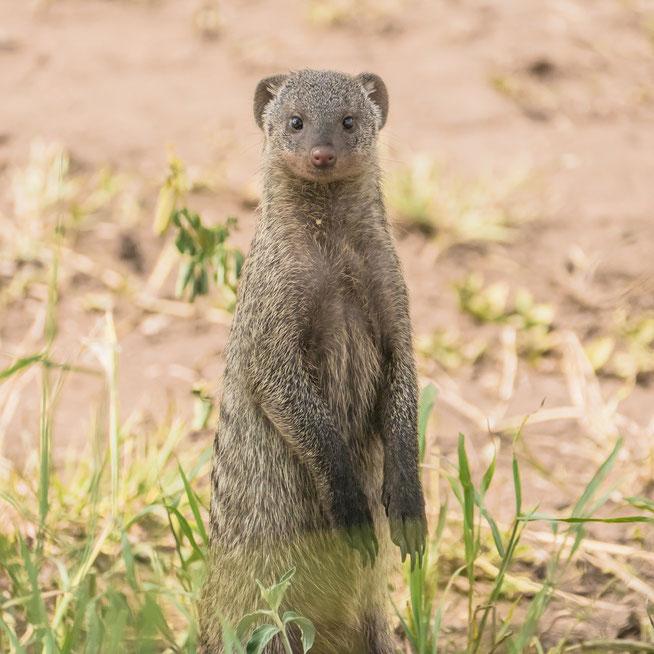 Banded Mongoose - Zebramanguste (Mungos mungo)
