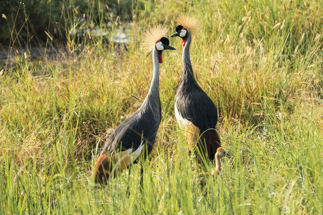 Grey Crowned Crane - Grauhals-Kronenkranich (Balearica regulorum) mit Kücken
