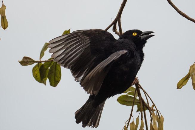 Mohrenweber - Vieillot's black weaver (Ploceus nigerrimus)