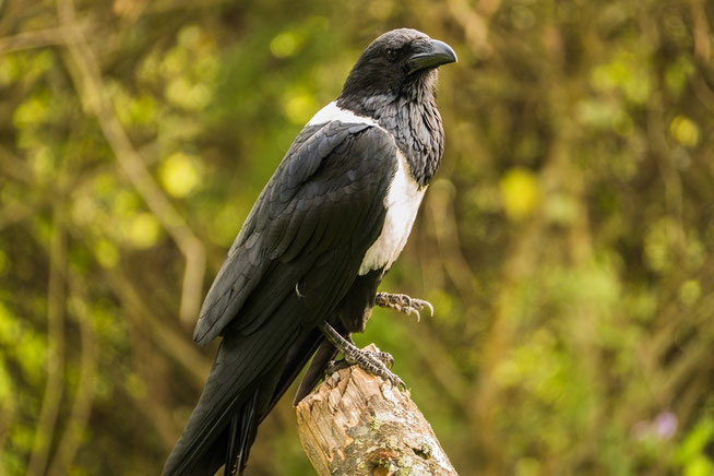 Schildrabe - Pied Crow (Corvus albus)