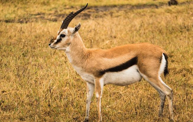 Thomson's Gazelle - Thomsongazelle (Gazella rufifrons thomsoni)
