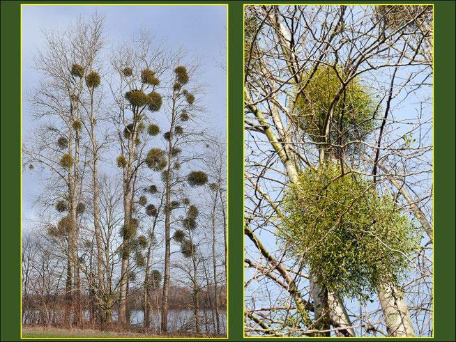 Pappelhybriden (Populus canadensis) mit mehrjährigen, rundkugeligen Mistelsträuchern bewachsen.