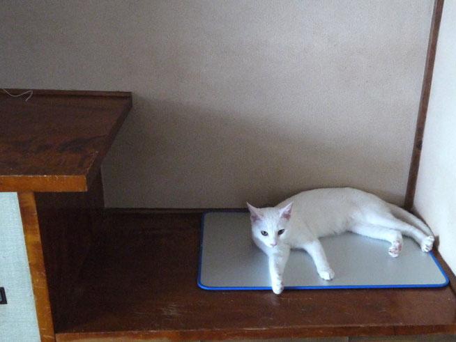 ネコの鉄板(アルミ板)焼きとちゃいますニャン。