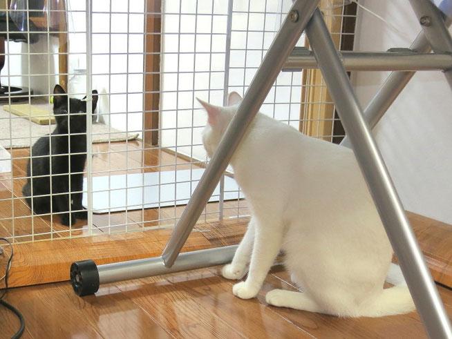 【Luckey】白いねーちゃん、面会に来たったで!ゆっくり話でもしようかニャン。 【フクちゃん】あんた誰ニャン?なんでウチの部屋におるニャン?第一囲われてるのはアンタの方ニャン!ウチは子猫とは遊べへんニャン!