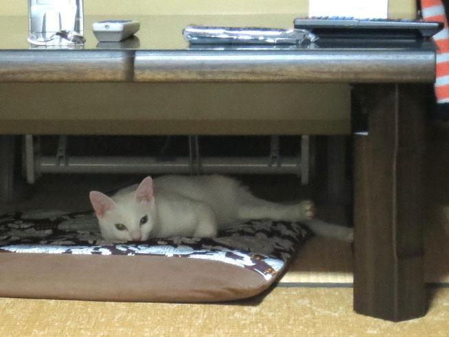 我が家の猫の定位置は座卓の下