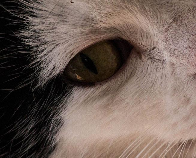 Augen Katze Mau