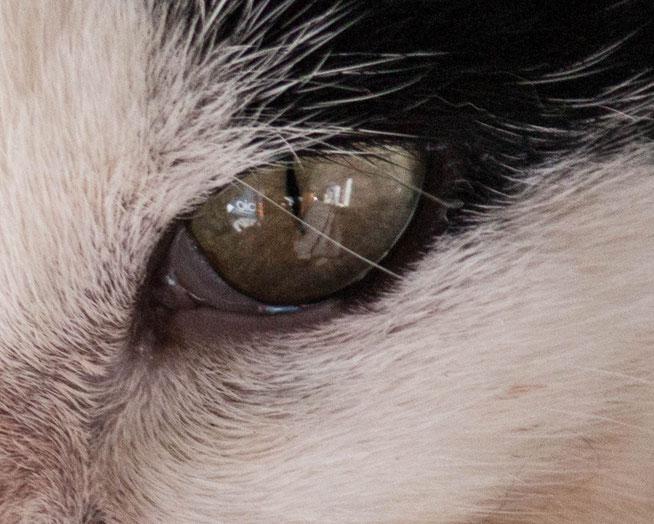 Augen Katze Line