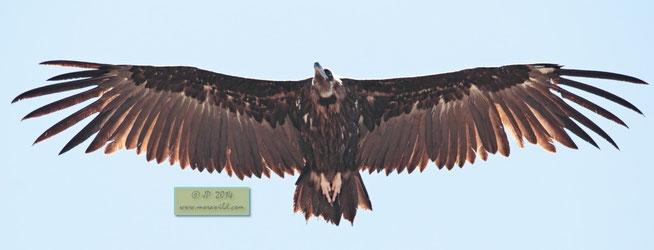 Abutre preto - Aegypius monachus