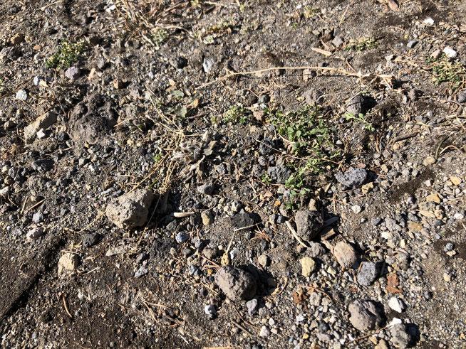 工事の間ずっと置いていた材木置き場をようやく片付けたら、その下に緑の草が。