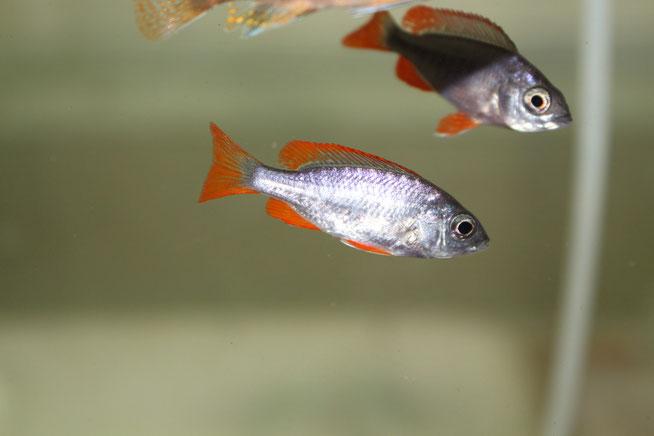 Copadichromis borleyi 'Kadango' red fin