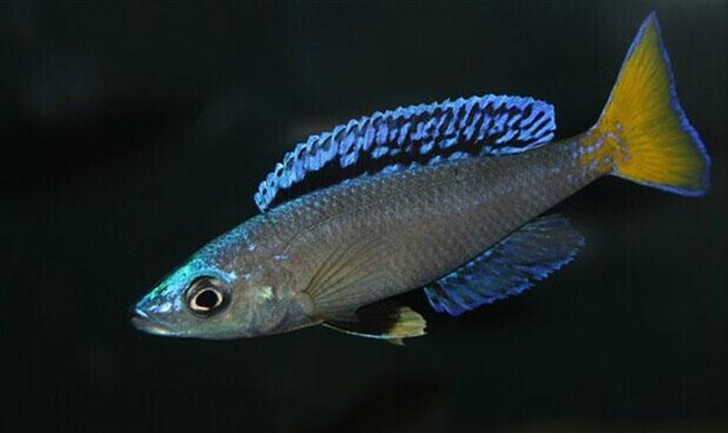 Cyprichromis, Cyprichromis leptosoma, Cyprichromis leptosoma Mpulungu, leptosoma, Mpulungu