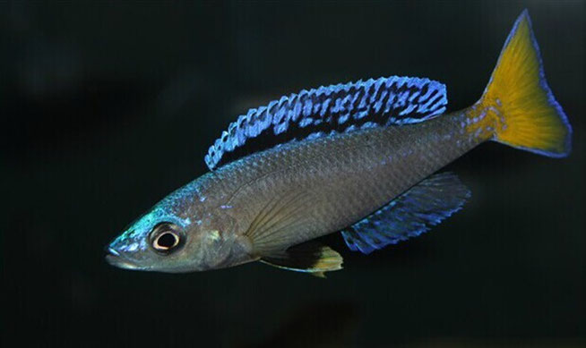 циприхромис, циприхромис лептозома, циприхромис лептозома мпулунгу, циприхромис мпулунгу, cyprichromis, cyprichromis leptosoma, cyprichromis leptosoma mpulungu, cyprichromis mpulungu