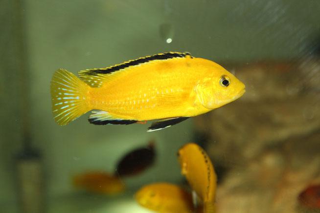 лабидохромис, лабидохромис еллоу, лабидохромис фото, лабидохромис желтый, labidochromis, labidochromis caeruleus, labidochromis caeruleus yellow