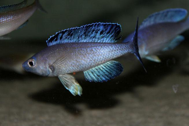 cyprichromis, cyprichromis leptosoma, cyprichromis kitumba, cyprichromis leptosoma kitumba, циприхромис, циприхромис лептозома