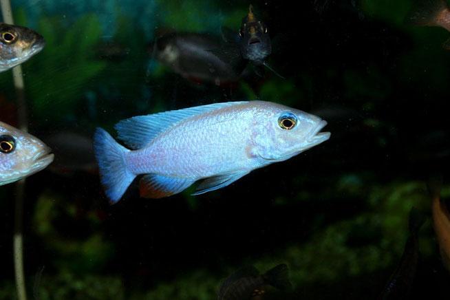 sciaenochromis, sciaenochromis fryeri, сцианохромис