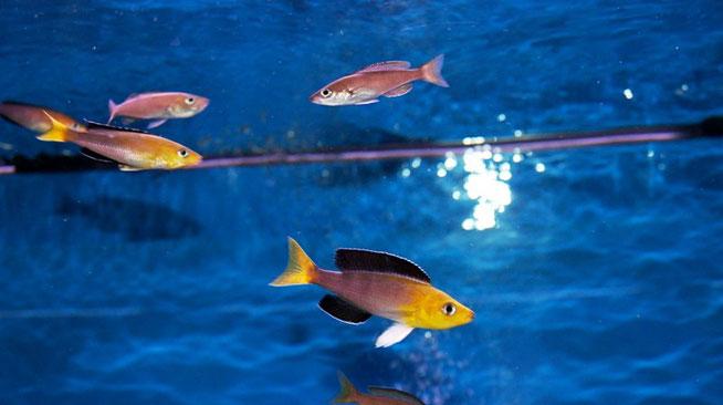 Cyprichromis, Cyprichromis leptosoma, Cyprichromis leptosoma jumbo Yellow Head