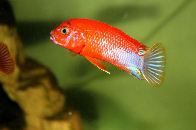 labidochromis-spec-hongi-super-red.jpg