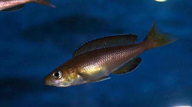 cyprichromis, cyprichromis leptosoma, cyprichromis leptosoma jumbo yellow head, циприхромис, циприхромис лептозома, циприхромис лептозома еллоу хед