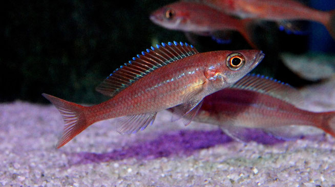 Paracyprichromis nigripinnis blue neon - молодые самки