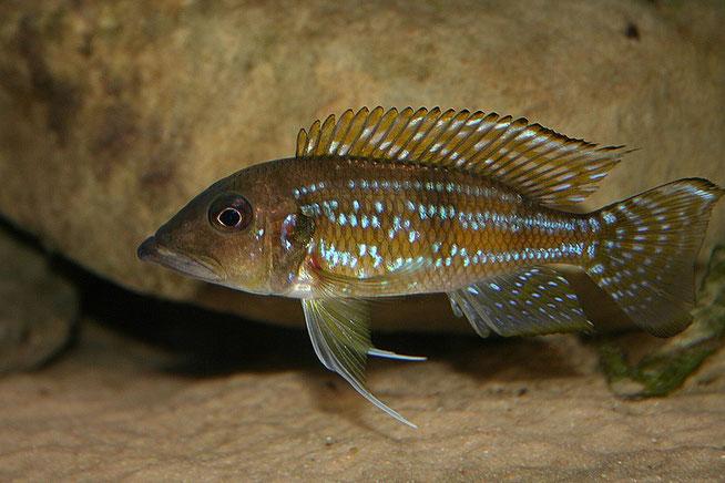 Gnathochromis, Gnathochromis permaxillaris, Gnathochromis permaxillaris chituta, permaxillaris, chituta