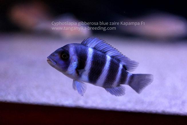 cyphotilapia, cyphotilapia gibberosa, Cyphotilapia gibberosa blue zaire Kapampa