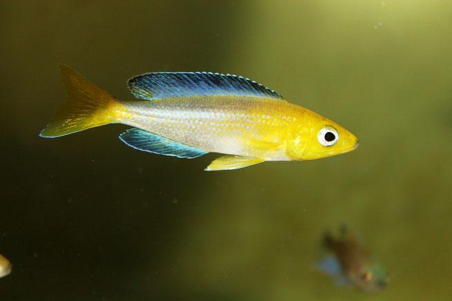 Cyprichromis sp. 'leptosoma Jumbo Kekese'