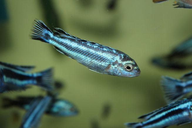 меланохромис майнгано, меланохромис майнгано фото, melanochromis, melanochromis maingano, melanochromis cyaneorhabdos maingano, melanochromis maingano