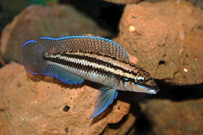 Julidochromis, Julidochromis dickfeldi, юлидохромис дикфельда