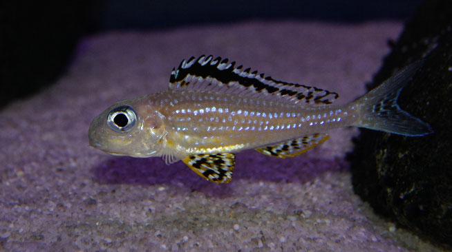 Xenotilapia papilio Tembwe самка (инкубирует икру)