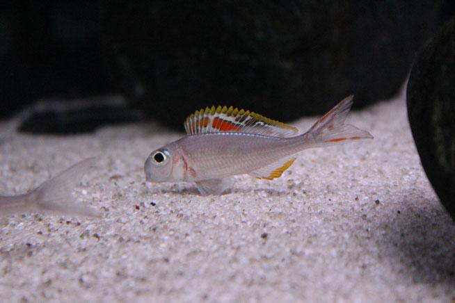 """Xenotilapia, Xenotilapia nigrolabiata, Xenotilapia nigrolabiata sp.""""Red Princess"""""""
