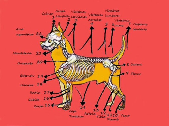Criador de perros de la raza chihuahua con afijo De Alba Dog. Tema: Esqueleto del perro de raza chihuahua. Esqueleto del chihuahueño. Criadores de cachorros de chihuahua de pelo largo y de pelo corto en Valencia, Comunidad Valenciana, España.
