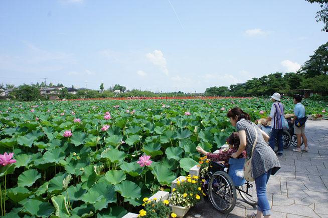 心地よい風が吹く高田公園のお堀に、今年も「東洋一」と称される蓮の大輪が咲き誇っていました
