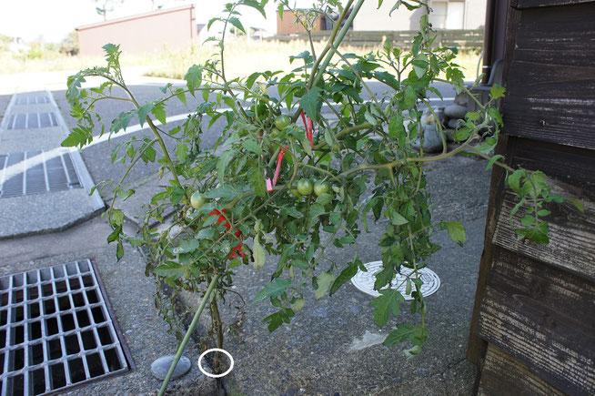道路脇のコンクリートのわずかなすき間から伸びる、トマトの苗を目撃。ご近所で評判になっているようです