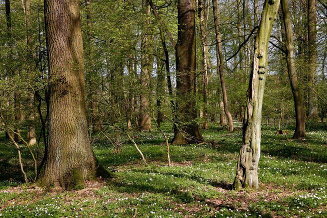 Das Waldgebiet Davert liegt  im nordrhein-westfälischen Münsterland. Hier wachsen bundesweit bedeutende Eichen-Hainbuchenwälder. Sie bergen eine individuen- und artenreiche Spechtfauna – ein geeigneter Ort also, um sich intensiv mit Spechten zu befassen