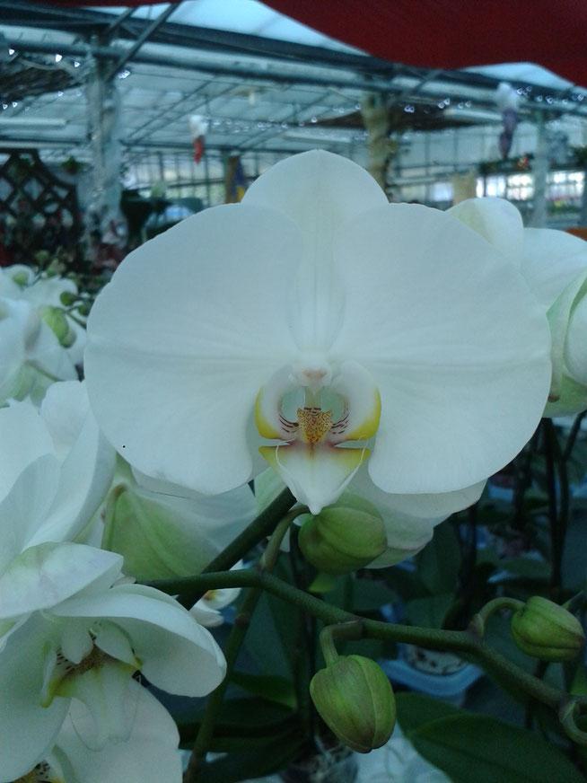 Orchidea Phalenopsis