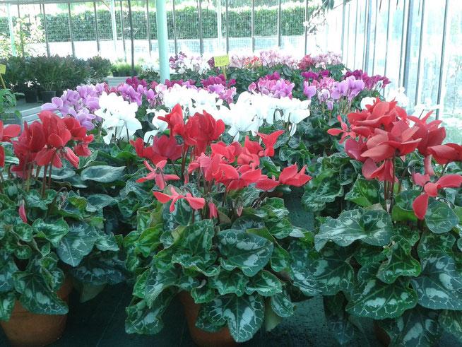 Nel Puntovendita troverete in questo periodo oltre ai Ciclamini, come sopra nella foto, Crisantemi, Viole, Calluna, Azalee e le Aromatiche con molto altro ancora di vario.