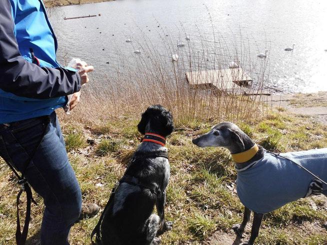 Yoko beobachtet die Schwäne,  Marnie die Leckerchen. Jeder Jagdhund hat so seine Vorlieben.