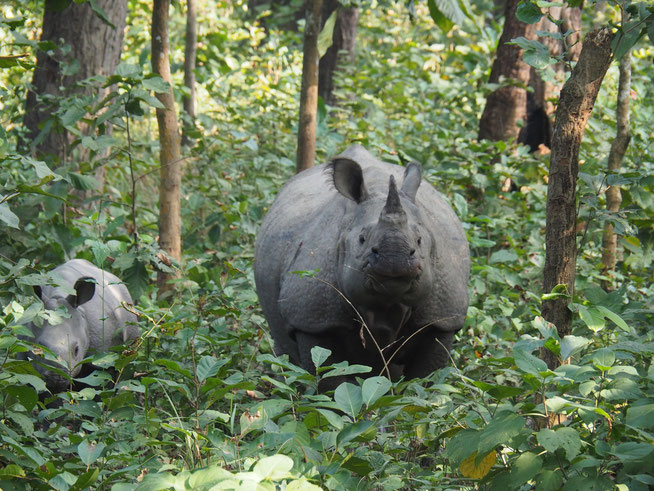 Nashörner im Chitwan Dschungel Nepal
