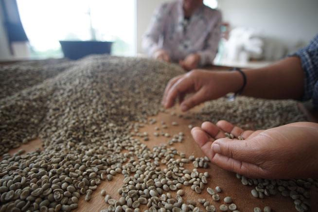 Handarbeit in Thailand - Die Kaffeebohnen werden von Hand sortiert